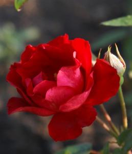 красная роза фото.jpg