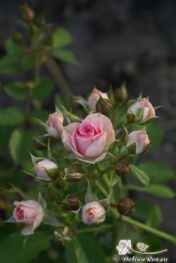 роза бордюрная.jpg