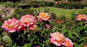 розы в цвету фото.jpg