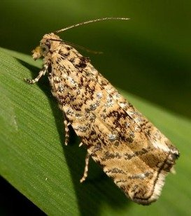 Бабочка Листоверка
