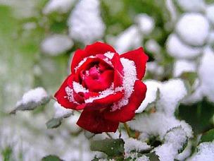 цветущая в снегу роза.jpg