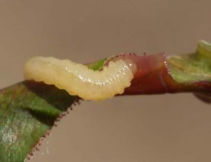 Пилильщик розанный